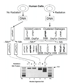 Scheme to quantify clustered DNA damages in human cells. Reprinted from Sutherland BM, Bennett PV, Sutherland JC, Laval J. 2002. Clustered DNA Damages Induced by X-Rays in Human Cells. Radiation Res. 157:611-616.